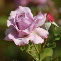 Jeszcze kwitną róże