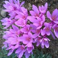 Kwitnący Zimowit