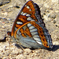 Pokłonnik osinowiec (Limenitis populi