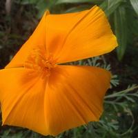 pomarańczowy maczek