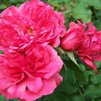 Róża pnąca .