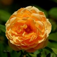Róża w