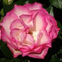 Róża......