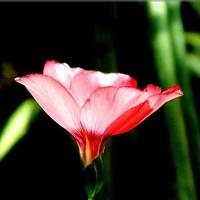 Różowe światełko