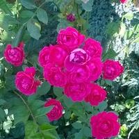 Różyczki drobne