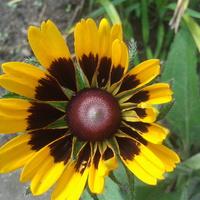 rudbekiowe słoneczko
