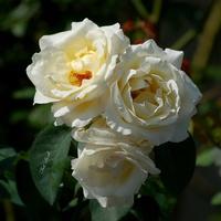 Trzy białe róże