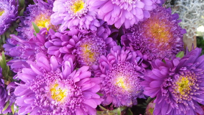 astra farba fiolet
