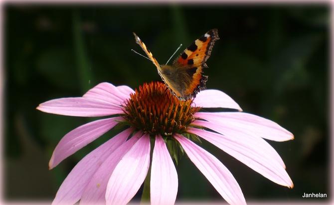 Klasyka na dobranoc; motylek na jeżówce.
