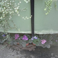 fiołki (Palmiarnia Gliwice)
