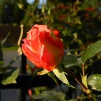 Jesienna róża ....