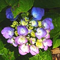 kolorowa hortensja