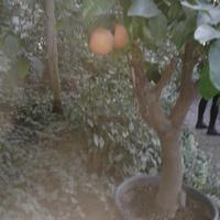 pomarańczki (Gliwice palmiarnia)