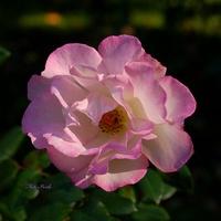 Róża październikowa
