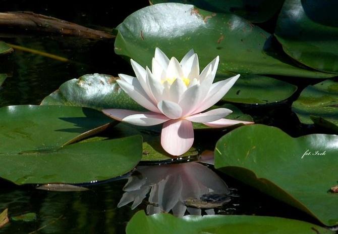 Najbardziej wodny kwiat