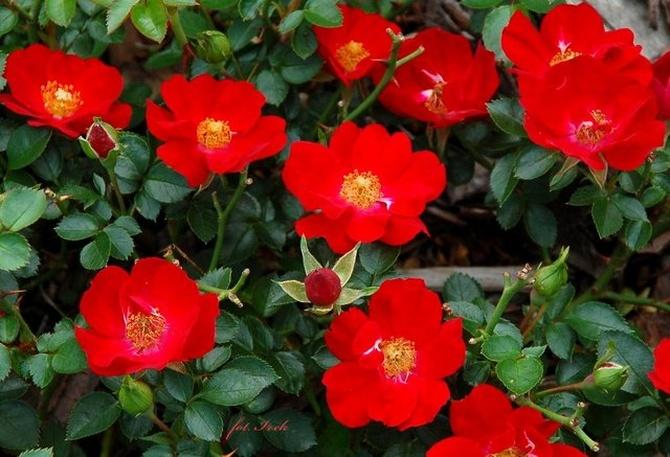 Ogniste różyczki