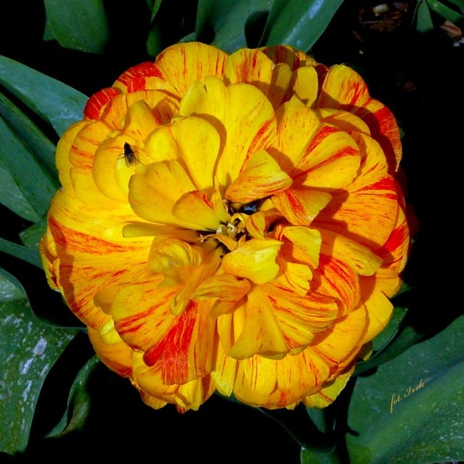 Tulipan kwietniowy