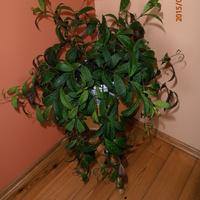 Aeschynanthus  marmoratus..