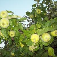 drzewo pigwy z owocami