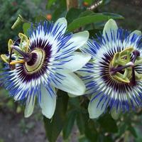 męczennica passiflora