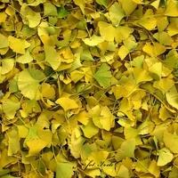 Miłorząb Japoński, liście