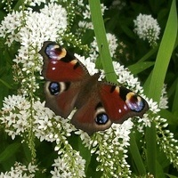 Motylek na ogonkach...