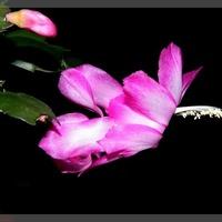 Róż Na Parapecie