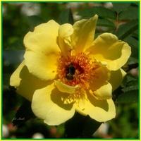 Róża, zwykłe zdjęcie.