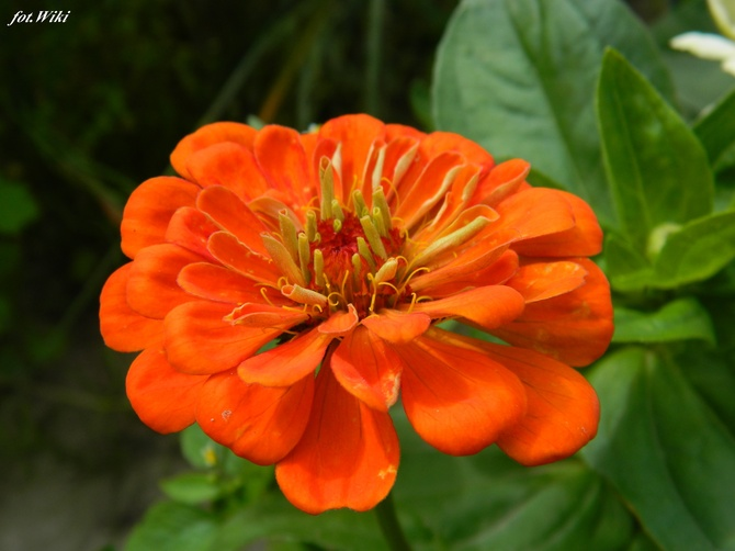 Energetyczny pomarańcz