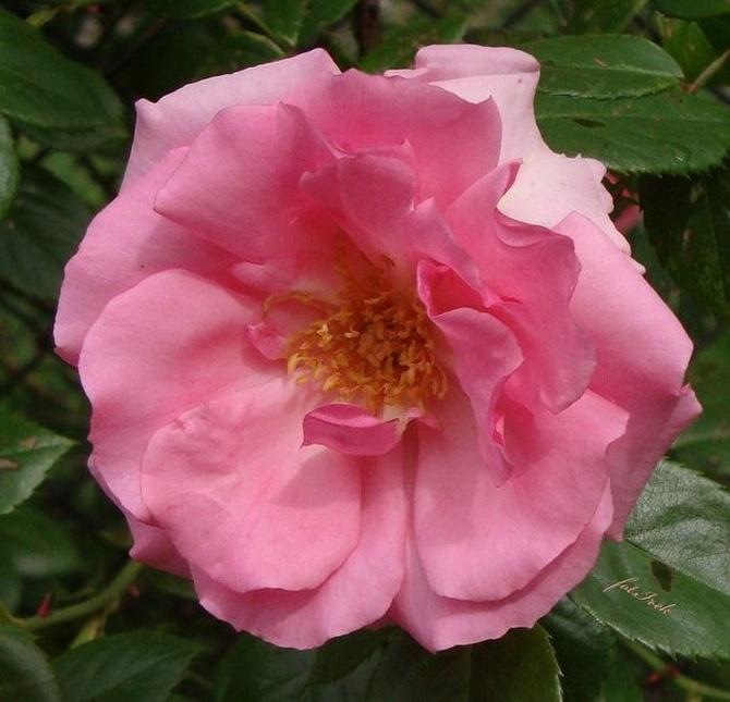 Landrynkowy kwiat