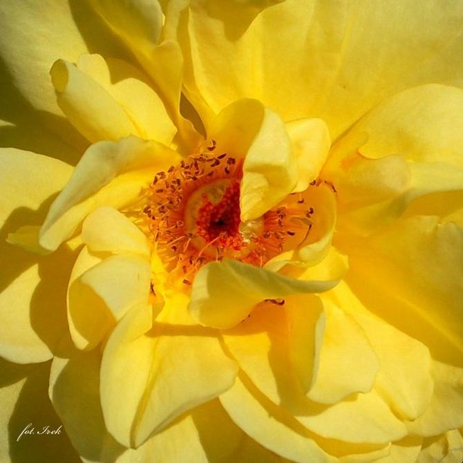 Słoneczna róża, zdjęcie makro
