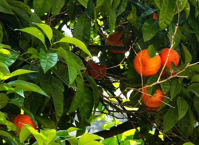 Świeże pomarańcze