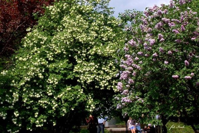 Zasłona z kwitnących krzewów