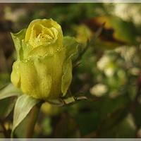 Grudniowa róża...