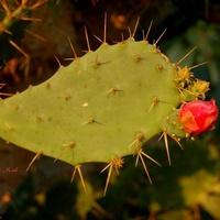 Kaktus kwitnący