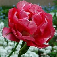Majowy tulipan
