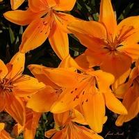Pomarańczowe lilie