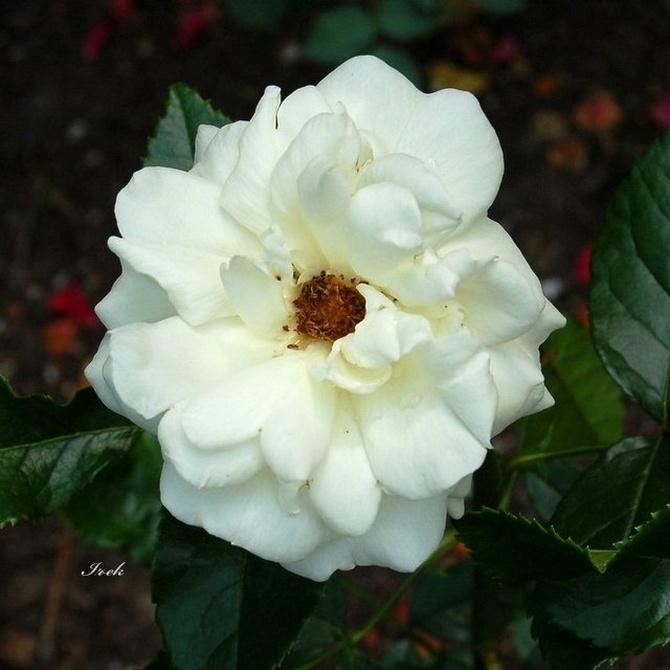 Biała róża