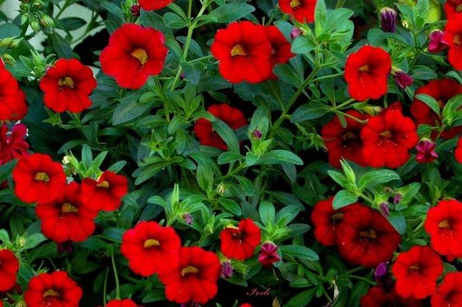 Czerwone kwiatki na ponury czwartek.