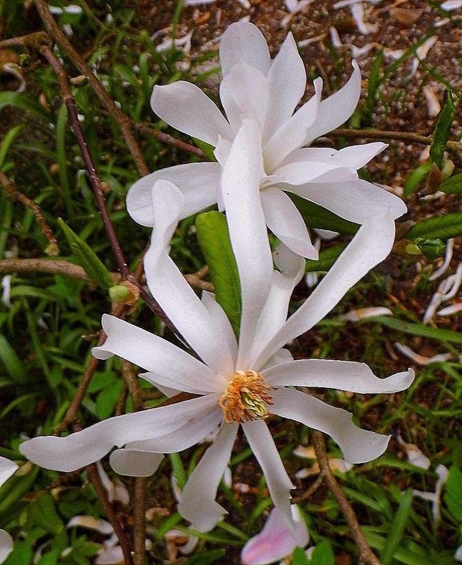 Majowo-magnoliowe wspomnienie