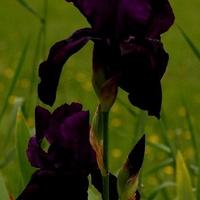 Czarny irys
