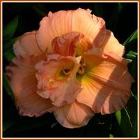 Liliowiec pomarańczowy