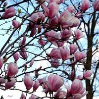 M jak magnolia