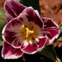 Pojedynczy tulipan