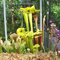 rośliny owadożerne - kapturnica