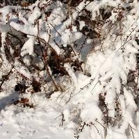 Sobotni śnieg na krzewach