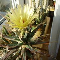 sukulent i kaktus