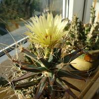 sukulent z kaktusem