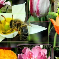 W tulipanach