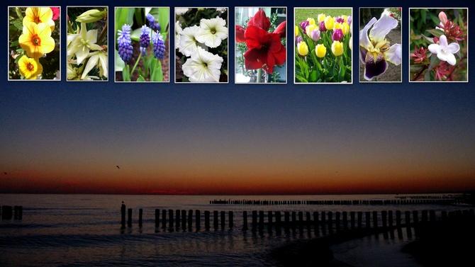 Abelia wielkokwiatowa